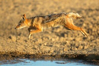 A black-backed jackal (Canis mesomelas) jumping over water at a waterhole, Kalahari desert, South Africa.
