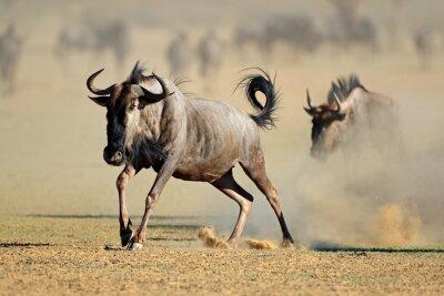 A blue wildebeest (Connochaetes taurinus) running in dust, Kalahari desert, South Africa.