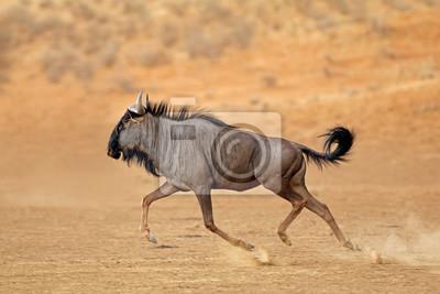 A blue wildebeest (Connochaetes taurinus) runningt, Kalahari desert, South Africa.