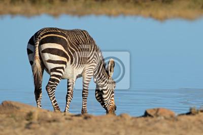 A Cape mountain zebra (Equus zebra) drinking at a waterhole, Mountain Zebra National Park, South Africa.