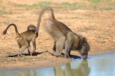 A chacma baboon (Papio ursinus) with young drinking water, Mkuze game reserve, South Africa.