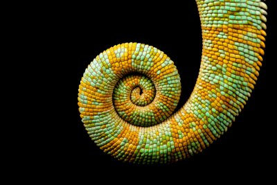 Canvas print A curled up tail of a yemen chameleon isolated on a black background