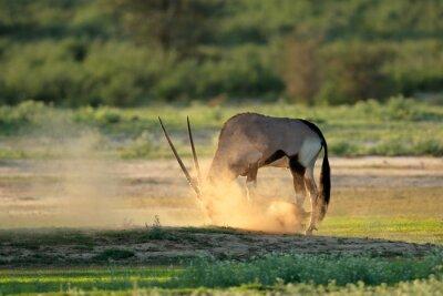 A gemsbok antelope (Oryx gazella) in dust at sunrise, Kalahari desert, South Africa.