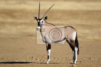 A gemsbok antelope (Oryx gazella), Kalahari desert, South Africa.