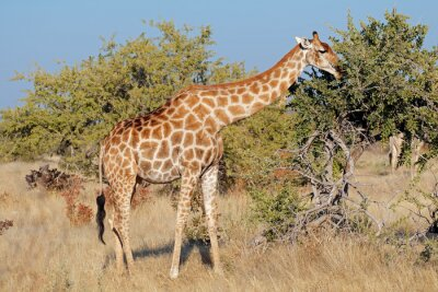 A giraffe (Giraffa camelopardalis) feeding on a tree, Etosha National Park, Namibia.