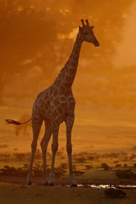 A giraffe (Giraffa camelopardalis) in dust at sunrise, Kalahari desert, South Africa.