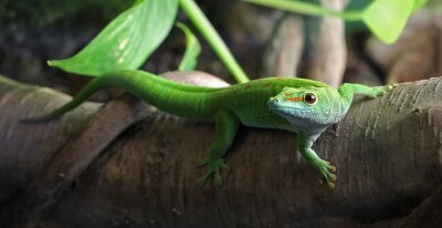 Canvas print A green Gecko, perched on a branch