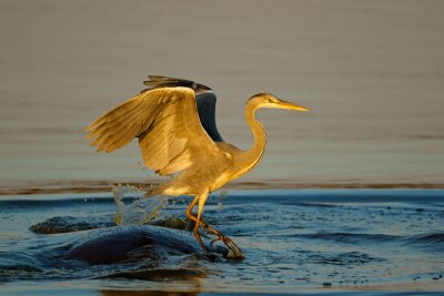 A grey heron (Ardea cinerea) balancing on a hippopotamus in the water, Kruger National Park, South Africa.