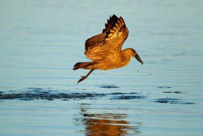 A hamerkop bird (Scopus umbretta) in flight over water, Kruger National Park, South Africa.