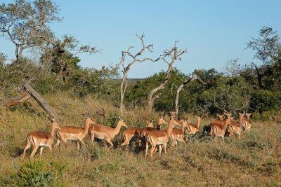 A herd of impala antelopes (Aepyceros melampus), Mkuze game reserve, South Africa.