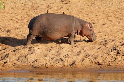 A hippo (Hippopotamus amphibius) walking on land, Kruger National Park, South Africa.