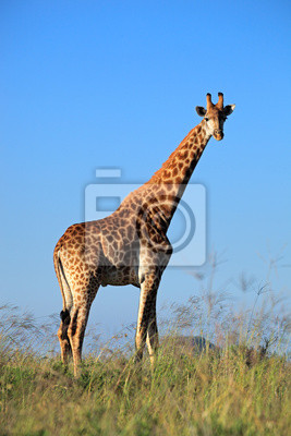 Canvas print A large giraffe bull against a blue sky