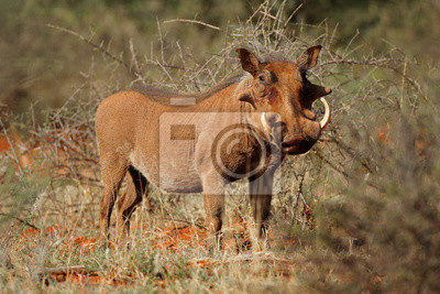 A large male warthog (Phacochoerus africanus) in natural habitat, South Africa.