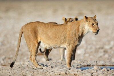 A lioness (Panthera leo) at a waterhole, Etosha National Park, Namibia