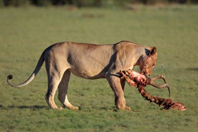 A lioness (Panthera leo) with the remains of antelope prey, Kalahari, South Africa .