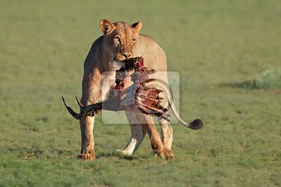 A lioness (Panthera leo) with the remains of antelope prey, Kalahari, South Africa