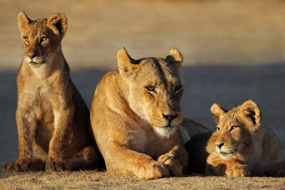 A lioness with cubs (Panthera leo) in early morning light, Kalahari desert, South Africa.
