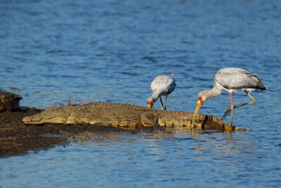 A Nile crocodile basking in shallow water with foraging yellow-billed storks, Kruger National Park, South Africa.