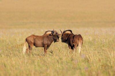 A pair of black wildebeest (Connochaetes gnou) in open grassland, Mountain Zebra National Park, South Africa.