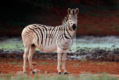 A plains (Burchells) Zebra (Equus burchelli) in natural habitat, South Africa.