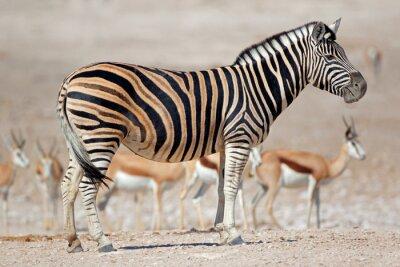A plains zebra (Equus burchelli) and springbok antelopes, Etosha National Park, Namibia.