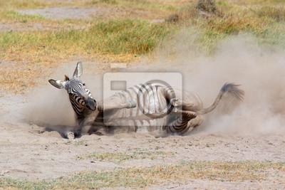 A plains zebra (Equus burchelli) rolling in dust, Amboseli National Park, Kenya.