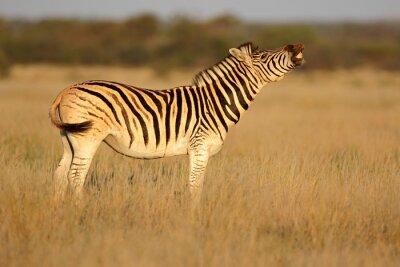 A plains zebra (Equus burchelli) standing in grassland, South Africa.