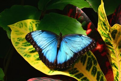 Canvas print A pretty blue morpho butterfly lands in the butterfly gardens.