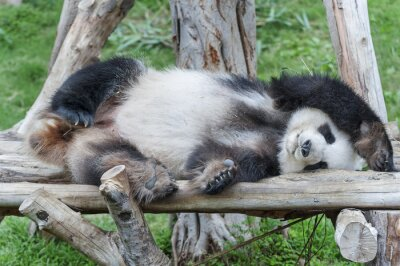 Canvas print A sleeping giant panda bear