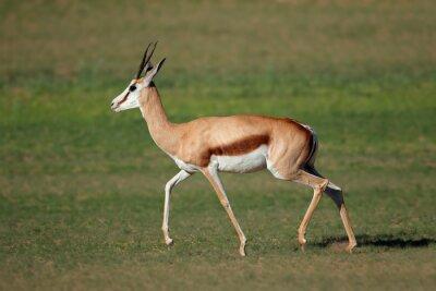 A springbok antelope (Antidorcas marsupialis) running, Kgalagadi, South Africa.