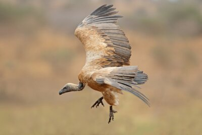 A white-backed vulture (Gyps africanus) landing, Kruger National Park, South Africa.