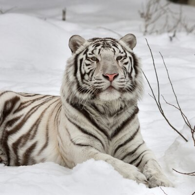Canvas print A white bengal tiger, calm lying on fresh snow. The most beautiful animal and very dangerous beast of the world. This severe raptor is a pearl of the wildlife. Animal face portrait.