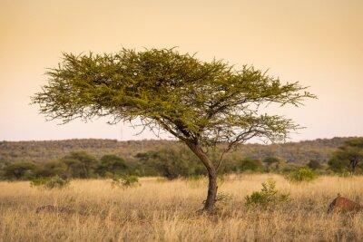Canvas print Acacia Tree Africa
