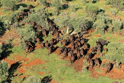 Aerial view of  a herd of  African or Cape buffaloes (Syncerus caffer), South Africa.