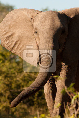 African Elepahnt