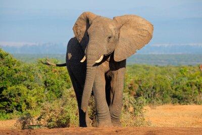 Canvas print African elephant, Addo Elephant National Park