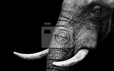 Canvas print African Elephant Close Up