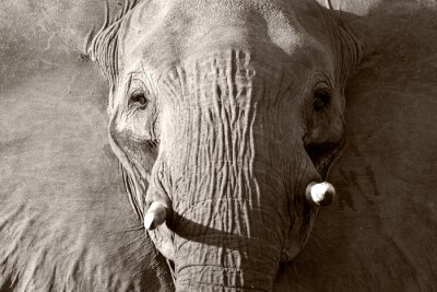 Canvas print African elephant in black and white