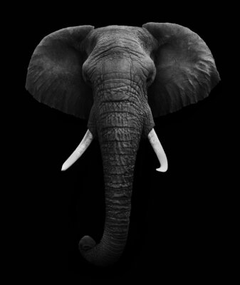 Canvas print African Elephant isolated