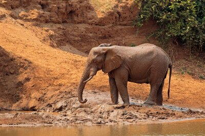 African elephant (Loxodonta africana) covered in mud, Kruger National Park, South Africa.