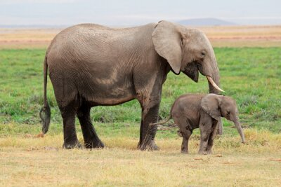 Canvas print African elephant (Loxodonta africana) cow with young calf, Amboseli National Park, Kenya.