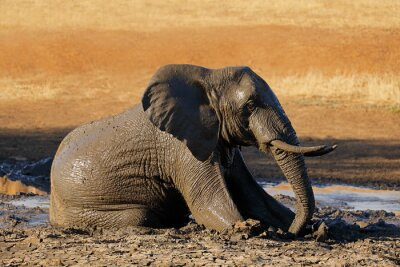 African elephant (Loxodonta africana) playing in a muddy waterhole, Kruger National Park, South Africa.