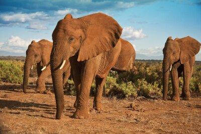Canvas print African elephant matriarchy against a blue sky