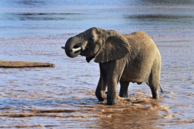 Canvas print African elephants in the savannah