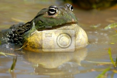 African giant bullfrog (Pyxicephalus adspersus), South Africa