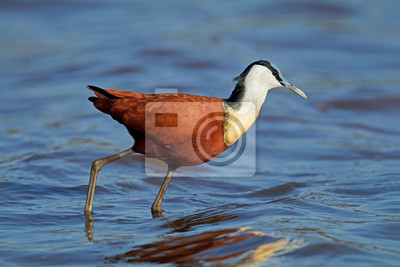 African jacana (Actophilornis africanus) in shallow water, Kruger National Park, South Africa