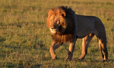 Canvas print African Lion