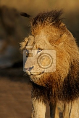 African lion (Panthera leo), Sabie-Sand n/r, South Africa