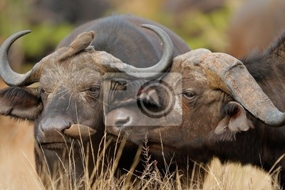 African or Cape buffalos, Kruger National Park, South Africa