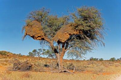 African thorn tree with large communal nest of sociable weavers (Philetairus socius), Kalahari desert, South Africa.